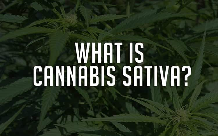 what is cannabis sativa